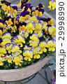 ビオラ 花 鉢植えの写真 29998990