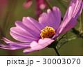 花 コスモスの花 センセーションの写真 30003070