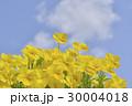 ビオラ 花 黄色の写真 30004018