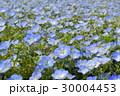 ネモフィラ花壇 30004453