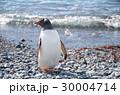 ジェンツーペンギン 30004714