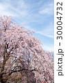 上田城の桜 30004732