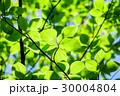 新緑 若葉 春の写真 30004804
