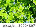 新緑 若葉 春の写真 30004807