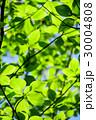 新緑 若葉 春の写真 30004808