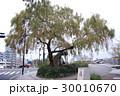 鶴見橋のシダレヤナギ 30010670
