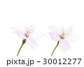 さくらの花びら 2輪 30012277