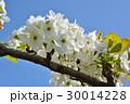 花 梨 白色の写真 30014228
