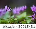 カタクリの花 30015431