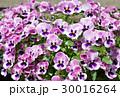 パンジー 花 三色菫の写真 30016264