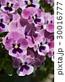 パンジー 花 三色菫の写真 30016777