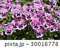 パンジー 花 三色菫の写真 30016778