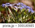 ハルリンドウの青い花 30016985