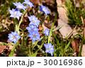 リンドウ科 リンドウ属 春竜胆の写真 30016986