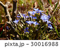 ハルリンドウの青い花 30016988