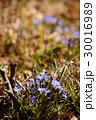 ハルリンドウの青い花 30016989