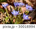 ハルリンドウの青い花 30016994