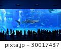 美ら海水族館で優雅に泳ぐ人気者のジンベイザメ 30017437