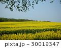 菜の花 北海道 滝川の写真 30019347