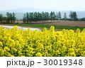 菜の花 北海道 滝川の写真 30019348