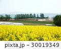菜の花 北海道 滝川の写真 30019349