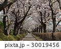 桜 並木道 桜並木の写真 30019456