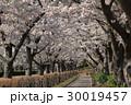 桜 並木道 桜並木の写真 30019457