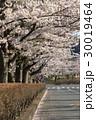桜 並木道 桜並木の写真 30019464