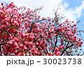 八重桜 30023738