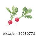 ラディッシュ 野菜 水彩画のイラスト 30030778