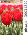 チューリップ畑 30031290