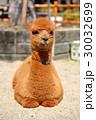 アルパカ 赤ちゃん 動物の写真 30032699