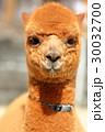 アルパカ 赤ちゃん 動物の写真 30032700