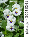 パンジー サンシキスミレ 花の写真 30036241