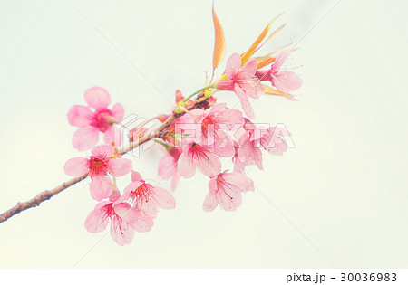 Sakura flower or Cherry Blossomの写真素材 [30036983] - PIXTA