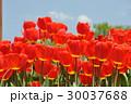 赤 チューリップ 赤い花の写真 30037688
