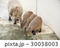 カピバラ 動物 動物園の写真 30038003