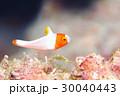 イロブダイ 幼魚 30040443