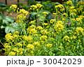 水菜 水菜の花 トウ立ちの写真 30042029