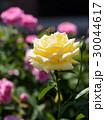 黄色いバラ 30044617