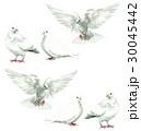 白い鳩6羽 30045442