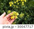 菜の花畑 30047717