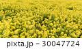 菜の花畑 30047724