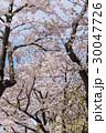 桜 30047726