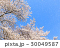桜 桜吹雪 舞い散るの写真 30049587