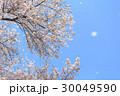桜 桜吹雪 舞い散るの写真 30049590