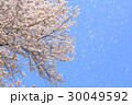 桜 桜吹雪 舞い散るの写真 30049592