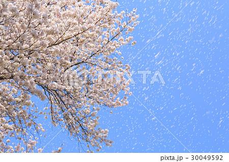 強風に桜の花びらが舞い散る 30049592