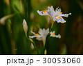 日陰に咲く胡蝶花 30053060