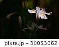 日陰に咲く胡蝶花 30053062